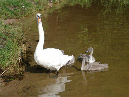 Swan, The Ugly Duckling, Chicks, Water, Nature, Birds
