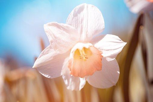 Narcissus, White, White Daffodil, Flower, White Flower