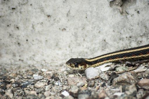 Snake, Garter, Reptile, Wildlife, Animal, Nature, Wild