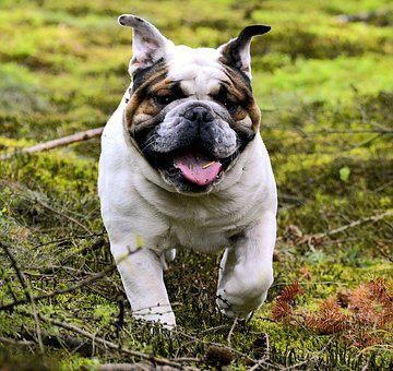Pet, Bulldog, Dog, Forest, Animal, Snout, Attention
