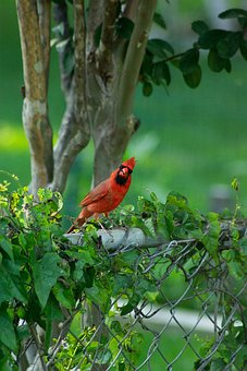 Bird, Cardinal, Wildlife, Colorful, Natural, Songbird