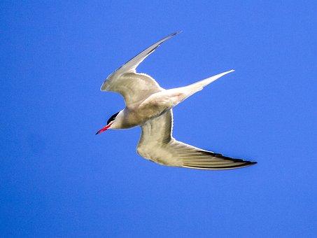 River Tern, Schwalbe, Bird, Water Bird, Nature, Animal