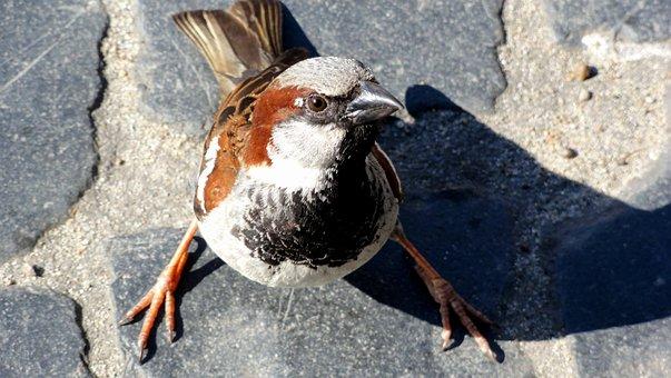 Bird, The Sparrow, Wróbelek, Sparrow Common, Pen, Wings
