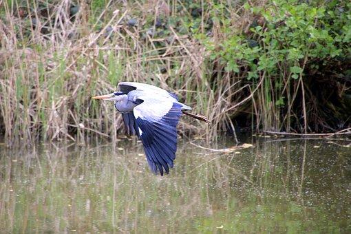 Bird, Water, Heron, Flight, Nature, Grass, Take Off