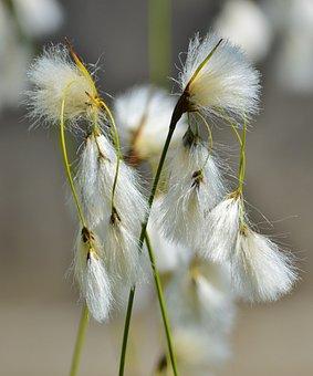 Bodensee-the-beach Hair Grass, Deschampsia Littoralis