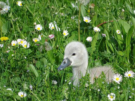 Swan, Duckling, Ugly, Young, Pride, Grey, Daisies