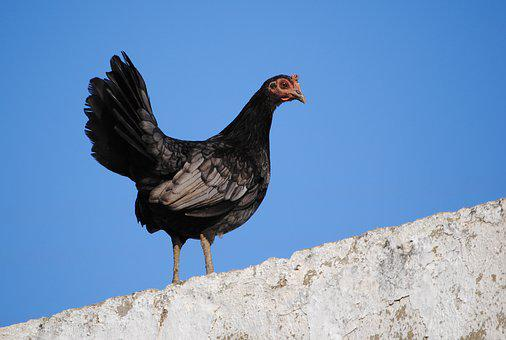Hen, Black, Animals, Ave, Crest, Nature, Domestic Fowl