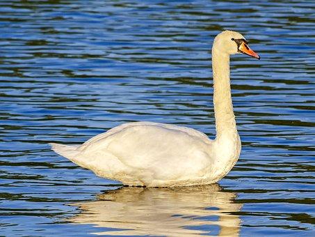 Swan, Mute Swan, Bird, Water Bird, Nature, Animal