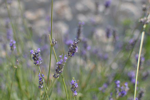 Lavender, Nature, Natural, Aromatherapy, Healthy