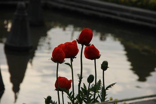 Tulip, Garden, Natural, Kashmir, Nature, Spring, Flower
