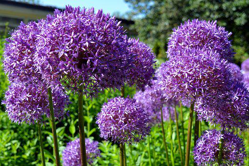 Ornamental Onion, Early, Violet, Nature, Allium, Purple