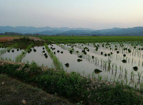 Laos, Rice, Agriculture, Paddy, Landscape, Asia, Rural