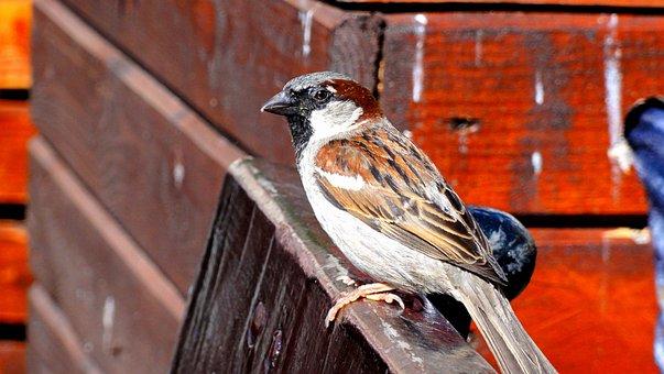 The Sparrow, Sparrow Common, Bird, Ptaszę, Little Bird