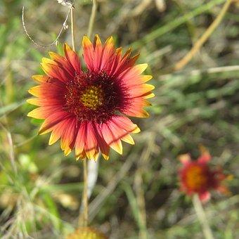Indian Paintbrush, Wildflower, Hiking, Texas