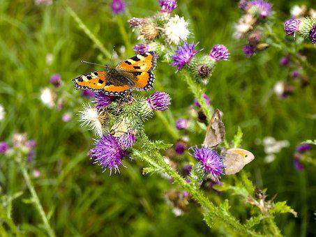 Little Fox, Butterfly, Insect, Nature, Animal