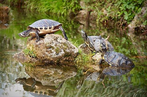 Turtle, Pond, Nature, Water Turtle, Water, Animal