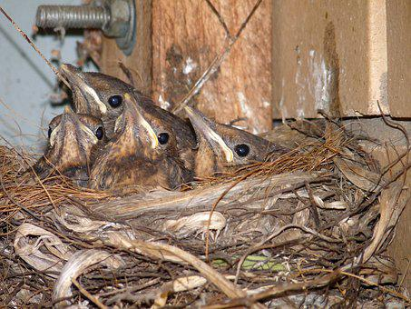 Blackbird, Babies, In, Nest