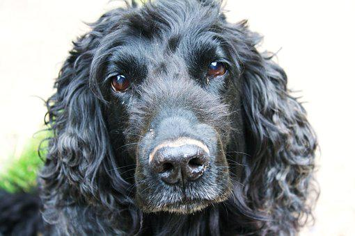 Cocker Spaniel, Dog, Cocker, Canine, Spaniel, Fur, Pet