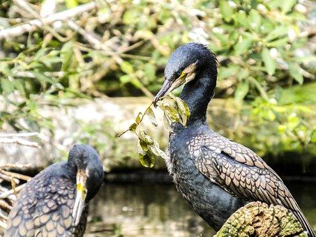 Cormorant, Bird, Water Bird, Nature, Animal