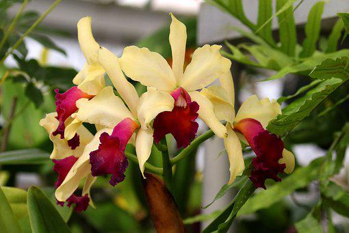Orchids, Flowers, Fuchsia, Cream, Floral, Blossom