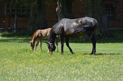 Main And State Stud Marbach, Foal, Nature