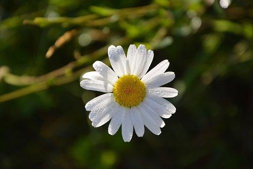 Marguerite, Flower, Petals, Nature, Natural, Jardiniere