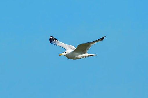Bird, Sea Gull, Flight, Dollars Non Plains, Mongolia