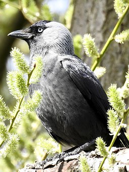 Jackdaw, Raven Bird, Bird, Nature, Animal