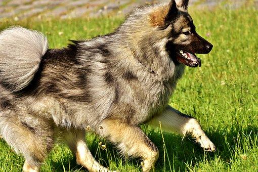 Eurasians, Dog, Race, Dog Breed, Pet, Fur, Cute, Play