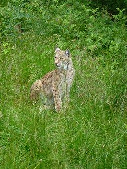 Lynx, Predators, The Nature Of The, Hunter, Kjøttspiser