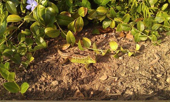 Emerald Lizard, Reptile, Animals