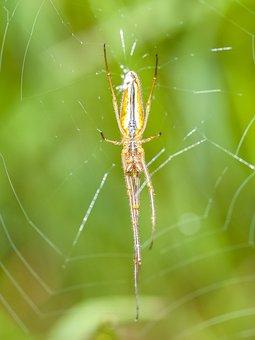 Strecker Spider, Spider, Nature, Animal