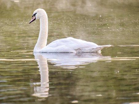 Mute Swan, Swan, Bird, Water Bird, Nature, Animal