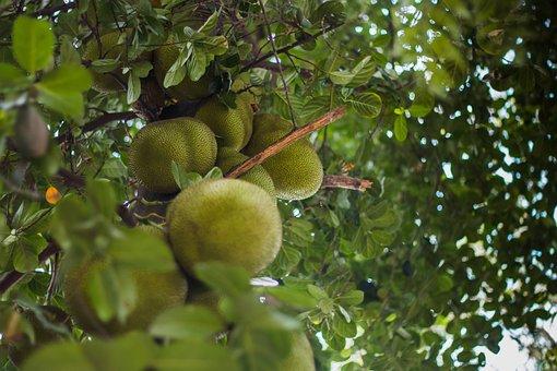 Jackfruit, Fruit, Food, Tropical, Fresh, Sweet, Organic