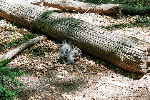 Squirrel, Yosemite, Usa, Rodent, Nature, Animal, Park