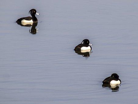 Row Pension, Duck, Bird, Water Bird, Nature, Animal