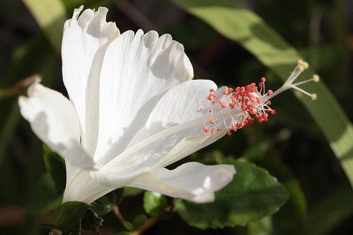 Hibiscus, White, Flower