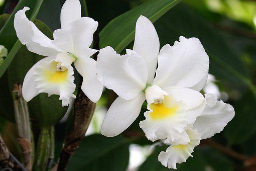 Orchids, White, Flower, Nature, Plant, Bloom, Blossom