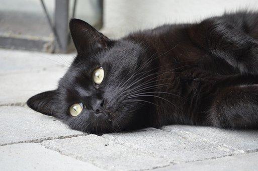 Animal Portrait, Cat, Black Cat, Black, Nature, Animals