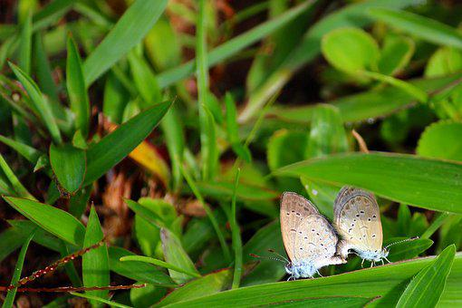 Butterfly, Mating, Couple, Pair, Macro, Animal, Green