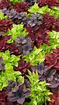 Discounts, Ground Cover, Three Coloured, Plant