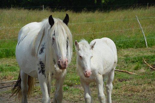 Mare, Foal, Irish-cob, Equine, Horses, Pre