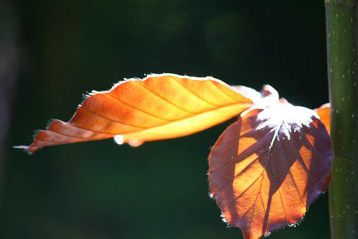 Copper Beech, Leaves, Tree, Leaf, Nature