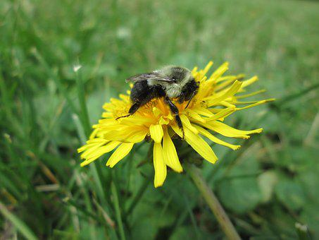 Dandelion, Bumblebee, Nature, Flower, Yellow, Insect