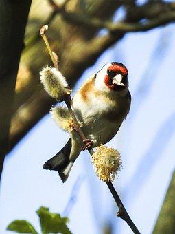 Stieglitz, Bird, Songbird, Garden Bird, Nature, Animal