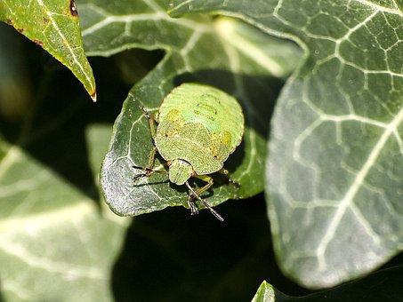 Stink Bug, Bug, Insect, Nature, Animal