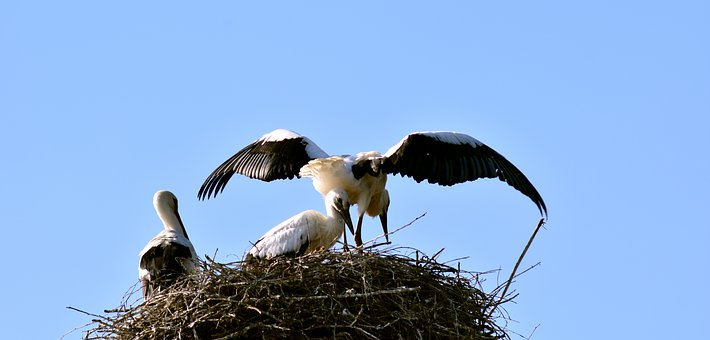 Stork, Stork Family, Young, Flight Test, Wing, Feather