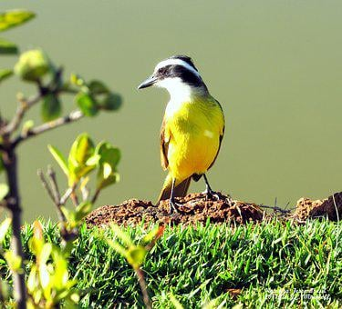 Bem-te-vi, Bird, Corner, Vegetation, Dawn, Nature
