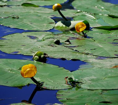 Water Lilies, Yellow, Aquatic Plant, Nuphar Lutea