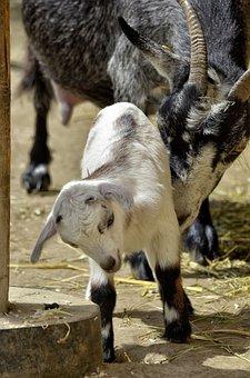 Animal, Goat, Young Animal, Farm, Mammals